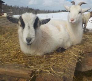 Nigerian/Saanen Wether Goat