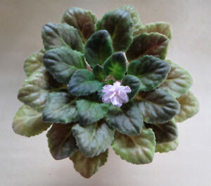 5 x African Violet Plants for Sale (NOT A PLUG)
