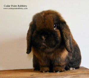 Solid USA Imported Holland Lop Buck
