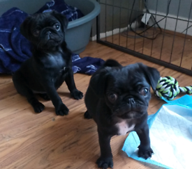 2 gorgeous male pug puppies looking for forever home