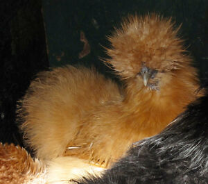 Pure Silkie show quality hatching eggs!!
