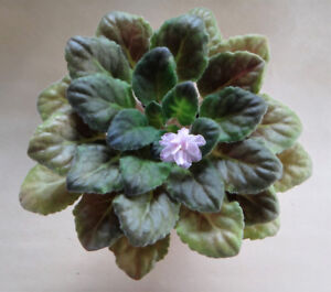 4 x African Violet Plants for Sale ($15 EACH)