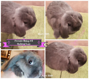 Purebred Holland Lop Bunnies with lots of love to give