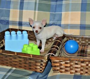 Chihuahua❤ Male blanc petit prince de sacoche❤red nose