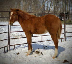 Speed bred AQHA yearling filly. Good barrel prospect.