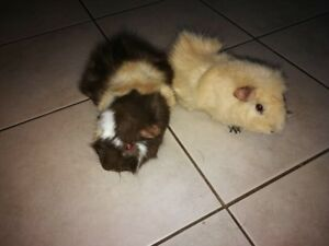 Guinea pigs Free to a loving home