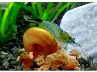 Fire Red Cherry Shrimp and Blue/Black Carbon Rili Shrimp