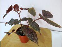 Begonia Polka Dot Pink Benigo. Indoor garden house plant. £10