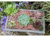 Pot planted with succulents