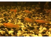 X10 Golden Orange Mollies Tropical Fish - 5 months old