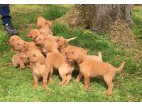 Finest cockerdor puppies cocker spaniel x Labrador