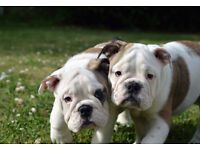 Stunning English Bulldog puppies for sale!