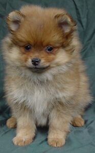 Looking for a Purebred Pomeranian Puppies!