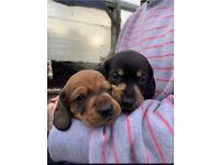 Miniature Dachshund Puppy's