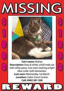 $1,000 REWARD offered - Missing Marley (Male, Grey & White Cat) Carine Stirling Area Preview