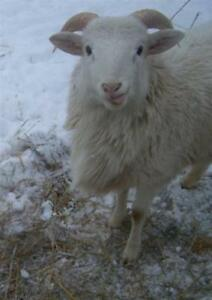 "Adult Male Barnyard - Sheep: ""Puck"""