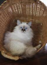 Birman Kitten Looking For His Forever Home Barmera Berri Area Preview