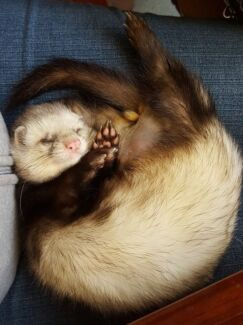 Garage Sale items wanted to raise funds for ferret rescue Creswick Hepburn Area Preview