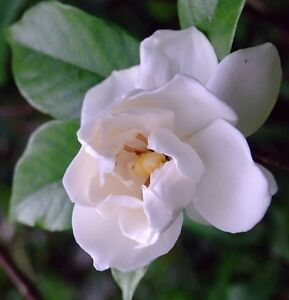 Cape Jasmine Gardenia * Fragrant * 50 seeds CombSH B26