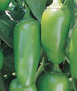 PEPPER-EARLY-JALAPENO-CHILLE-HEIRLOOM-ORGANIC-25-SEEDS-SPICY-GREAT-FRESH