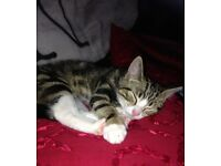 Missing Tabby and White Cat - OAKLEY,DUNFERMLINE FIFE