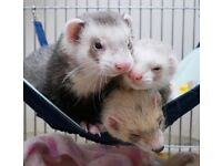 Stunning 12 week old ferrets for sale URGENT & CHEAP