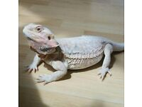 Rare bearded dragon for sale including cage and lights