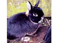 Netherland Dwarf and hutch for sale