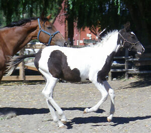 Black and white Curly/WB colt