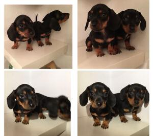 ❤️❤️Miniature DACHSHUND  puppies,short hair.