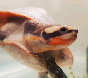 Male pink bellied sideneck turtle available!!