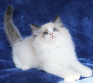 Bi-Colour Ragdoll Male Kitten for Adoption