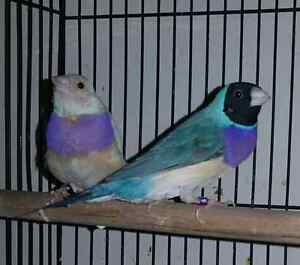 Gouldian Finches  (Exclusive)