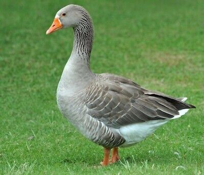 7 Toulouse Goose Purebred Hatching Eggs-fresh-fertile Guarantee -free Shipping