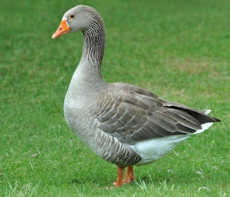 7+ Toulouse Goose Purebred Hatching Eggs-FRESH-FERTILE GUARANTEE -FREE SHIPPING!