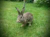 Gorgeous male rabbit needs new home