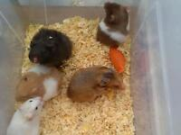 Baby hamsters