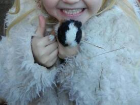Guinea pig males for sale