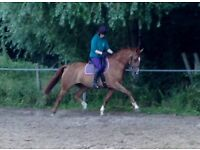 Teenagers/ small adults all-round competitive mare