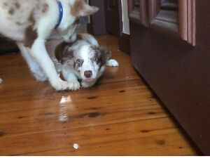 Puppies border collie Roselands Canterbury Area Preview