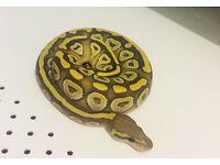 Royal Python ghost Mojave