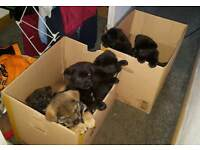 rottweiler x akita puppies