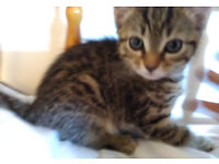 Bengal-like Tabby Kitten. Possibly I could bring her to you