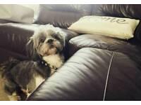 Shih Tzu dog for sale