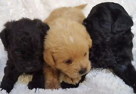 Pugapoo Puppies Ready Dec - Pug x Toy Poodle - non moulting