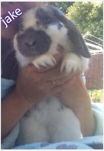 Rabbit male mini lop Morley Bayswater Area Preview