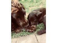 Labracockadoodle puppies!