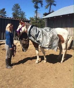 Registered APHA paint mare