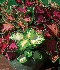 Coleus rainbow mix solenostemon scutellarioides wide for Growing rainbow roses from seeds