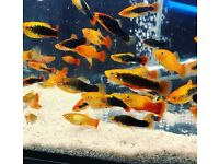 Tropical Fish Guppy, Angels, Molly, Tetras, Betta....FREE HOME DELIVERY